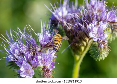 bee and lacy phacelia (Phacelia tanacetifolia), a purple plant in a field