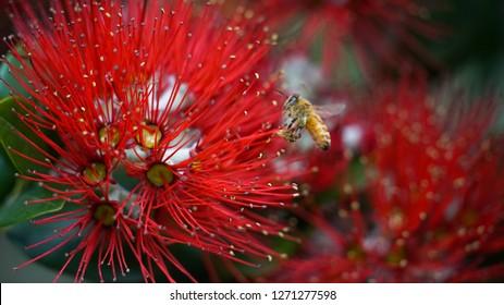 Bee landing on Pohutukawa flower