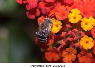 Bee in a Lantana camara flower