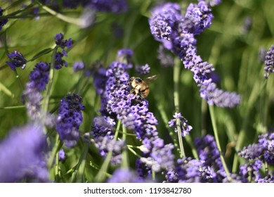 Bee at the Lavender festival