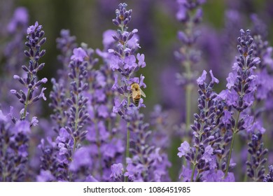 Bee -- Lavender Festival in Sequim, WA