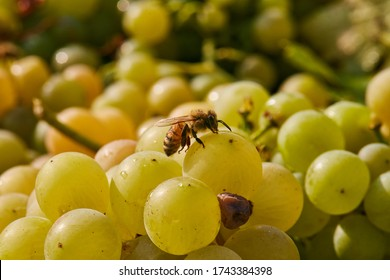 bee is laying on a grape
