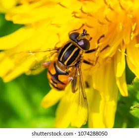Bee like insect on dandelion flower