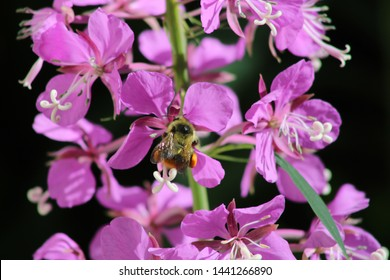 Bee loaded with pollen on Fireweed