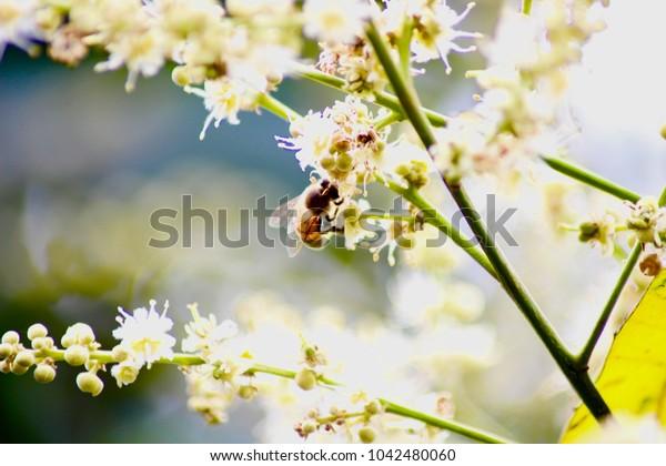 Bee and Longan flowers