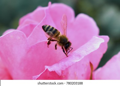 Bee looking for pollen on pink rose