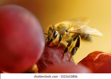 a bee looks for food in a grape