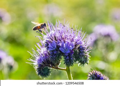 a bee looks for food on a flower (Phacelia tanacetifolia)