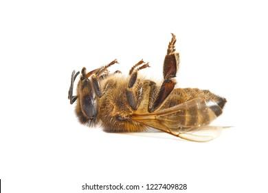 Bee macro isolated on white background