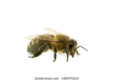 bee macro side view isolated on white background, close up of honeybee