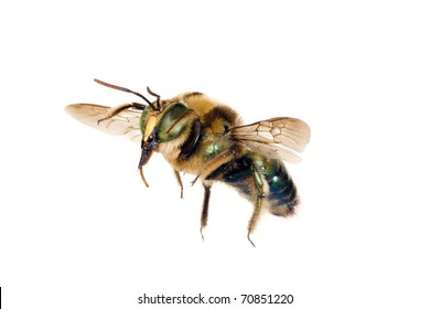 Bee, Metallic green carpenter, Xylocopa lestis, Australian native bee, wingspan 20mm