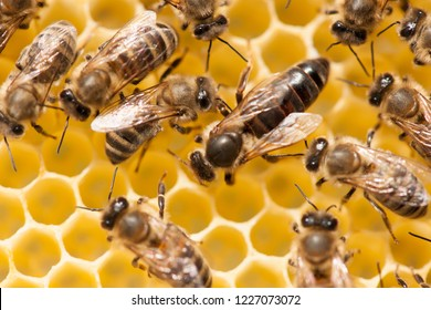 Bee mother on honeycomb with surrounded  honeybees layong eggs - bee family