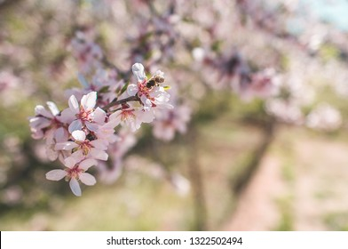 Bee on an almond tree flower