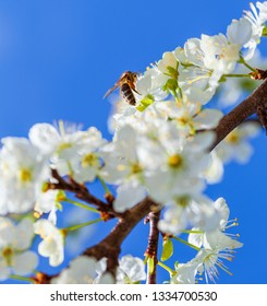 Bee on apple blossom; closeup of a beautiful spring apple tree against blue sky, shallow field - Image