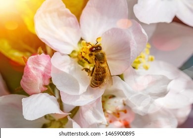 Bee on apple flower, close up macro. Bee on white flowers of Apple tree. Spring background with Apple tree blossom branch and honeybee . Flower and Bud of an Apple tree in early spring