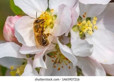 Bee on apple flower, closeup macro. Bee on white flowers of Apple tree. Spring background with Apple tree blossom branch and honeybee . Flower and Bud of an Apple tree in early spring
