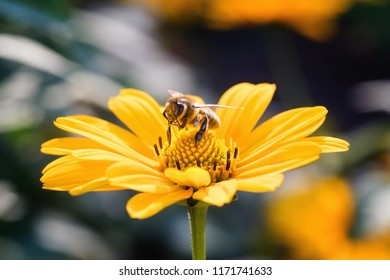Bee on an Arnica blossom. Close up, macro.