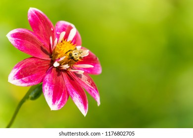 Bee on a beautiful purple Dahlia on a sunny Morning.