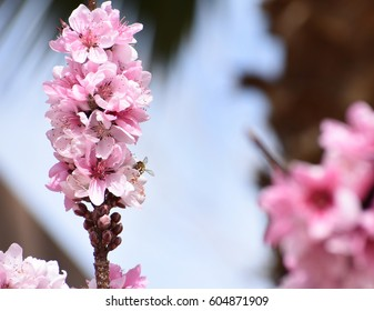 bee on beautiful stalk of peach blossoms with blue sky background
