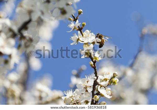 bee on blooming cherry