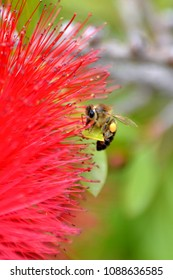 bee on a blooming red bottlebrush flower