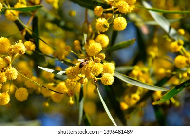 Bee on a blossoming branch of mimosa. Spring day. Mimosa flowers.