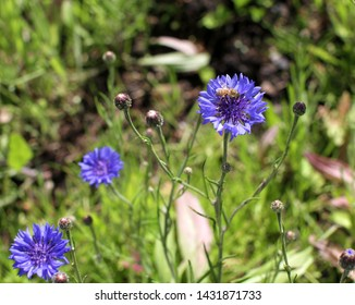 Bee on blue cornflower in the springtime in park, garden and meadow to get pollen for pollination and natural protection of botany