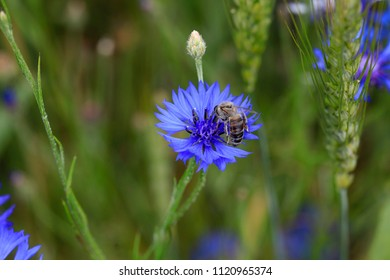 Bee on a blue flower in a summer field