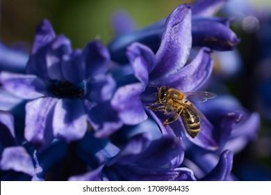 Bee on Blue Purple Hyacinth Macro