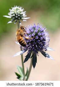 Bee on blue sea holly flower