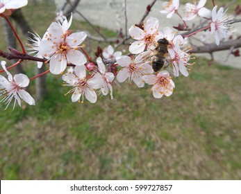 Bee on branch of blossoming tree