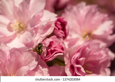 Bee on cherry tree blossoms close-up