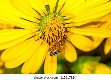 bee on compass flower