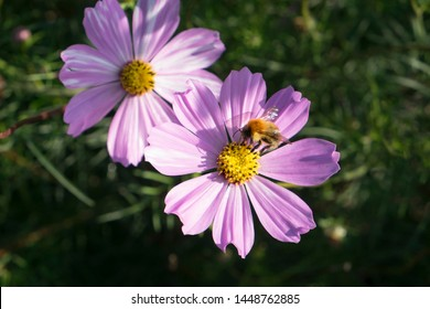 Bee on cosmos flower gathering nectar