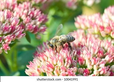 Bee on the crassula