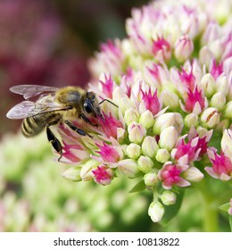 Bee on crassula