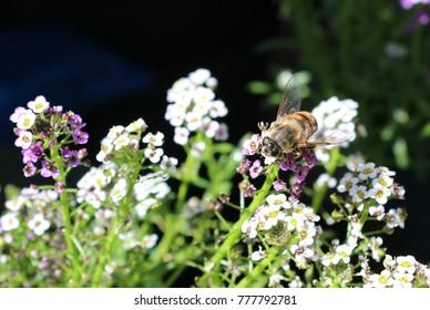 Bee on Dainty Sweet Alyssum Blossoms