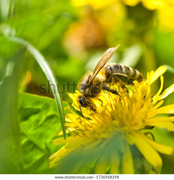 bee-on-dandelion-flower-600w-1736968298.