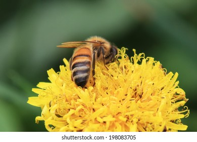 Bee on a dandelion flower close up