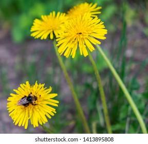 Bee on dandylion blossom summer