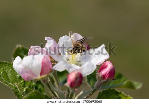 bee-on-delicate-whitepink-flower-600w-17