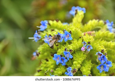 bee on a Echium candicans plant
