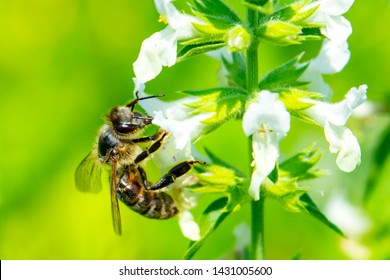 Bee on a flower close up. Bee collects honey and pollinates a flower of a meadow plant