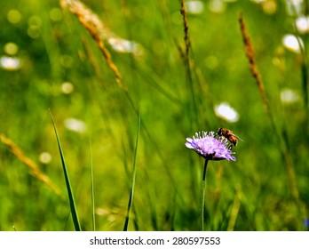 Bee on flower in green meadow