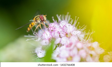 A bee on a flower is looking for food