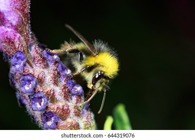 Bee on flower, macro. Bumblebee (Bombus) pollinating french lavender (Lavandula stoechas)