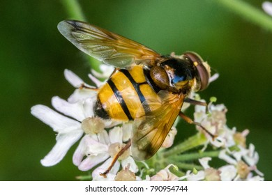 Bee on a flower, macro photography