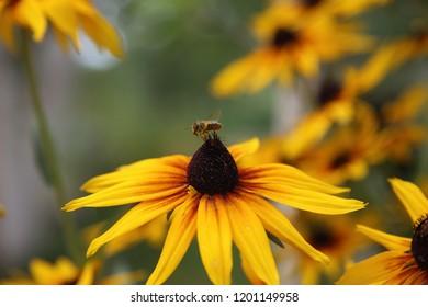 bee on flower of rudbeckia,  Kyivska oblast, Ukraine