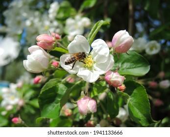 Bee on a flower. Spring landscape. Apple tree in bloom. - Shutterstock ID 1941133666