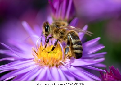 Bee on a flower Symphyotrichum dumosum, common names rice button aster or bushy aster, is an herbaceous plant in the aster family